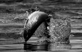 http://www.wildriverfish.com/reports/unchartered-alaska-film-with-ra-beattie-crew/